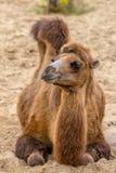 Chameau sauvage de repos en sable de désert Photos stock