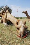 Chameau se couchant au Ràjasthàn, Inde Photo stock