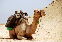 Chameau se reposant en Egypte photographie stock libre de droits
