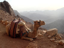 Chameau se reposant sur la montagne rocheuse Image libre de droits
