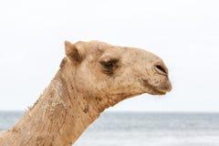 Chameau se reposant sur le rivage d'océan Image stock