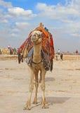 Chameau se tenant dans le désert, armé attendant un touriste photographie stock libre de droits