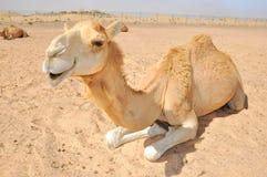 Chameau sittiing dans le désert Image stock