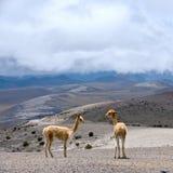 Chameau sud-américain sauvage, les Andes de l'Equateur central photographie stock libre de droits