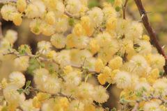 Chameau Thorn Blossoms - fond de fleur sauvage d'Afrique - or magnifique Photo stock