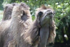Chameau Two-humped - bactrianus de Camelus avec la fourrure brune grise recherchant dans le zoo Cologne Photographie stock