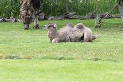 Chameau two-humped de bébé - bactrianus de Camelus avec la fourrure brune grise recherchant dans le zoo Cologne Photo stock
