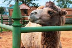 Chameau two-humped de Brown au zoo images libres de droits