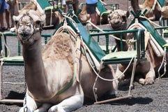 Chameaux à Lanzarote Photographie stock libre de droits