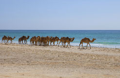 chameaux Photos libres de droits