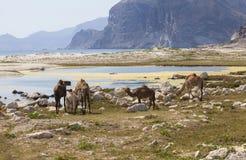 chameaux Photos stock