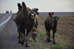 chameaux Images libres de droits