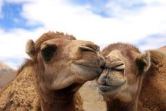 chameaux aimant deux Photographie stock