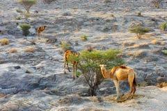 Chameaux alimentant des buissons sur l'île de Qeshm en Iran du sud, pris en janvier 2019 le hdr rentré photographie stock libre de droits