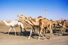 Chameaux au Soudan Photographie stock libre de droits