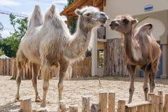 Chameaux au zoo de Budapest photographie stock