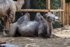 Chameaux au zoo de Budapest photos libres de droits