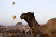 Chameaux avec les ballons à air chauds dans le chameau de Pushkar juste Images libres de droits
