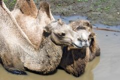Chameaux Bactrian (bactrianus de Camelus) en trou de boue photo stock
