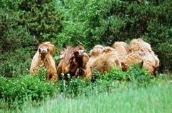 Chameaux Bactrian dans une région boisée ouverte Photo stock