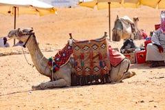 Chameaux, bateaux du désert - Gizeh, Egypte Image libre de droits