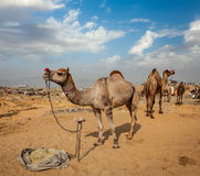 Chameaux chez Pushkar Mela (chameau de Pushkar juste), Inde Photographie stock libre de droits
