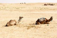 Chameaux, déserts du Sahara, Tunisie photographie stock libre de droits