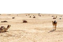 Chameaux, déserts du Sahara, Tunisie photos libres de droits