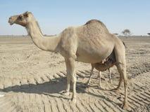 Chameaux dans le désert photo stock
