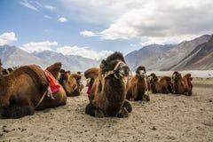Chameaux dans le désert Photos libres de droits