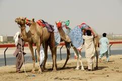 Chameaux dans le désert Arabe photographie stock libre de droits
