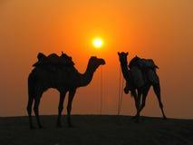 Chameaux dans le désert au coucher du soleil Photos stock