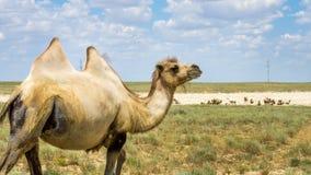 Chameaux dans le désert d'Aral Image stock