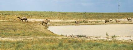 Chameaux dans le désert d'Aral Images stock