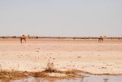 Chameaux dans le désert de Cholistan Photos libres de droits