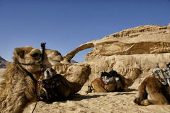 Chameaux dans le désert de la Jordanie Photo libre de droits