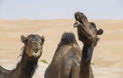 Chameaux dans le désert de Liwa Image libre de droits