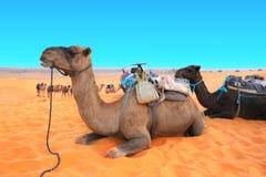 Chameaux dans le désert du Sahara, Maroc photographie stock libre de droits