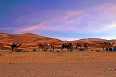 Chameaux dans le désert du Sahara du Maroc Afrique Images libres de droits