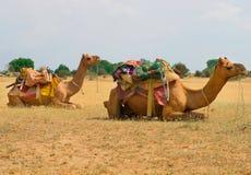 Chameaux dans le désert, Jaisalmer, Inde Image libre de droits