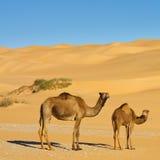 Chameaux dans le désert - mer de sable d'Awbari, Sahara photographie stock