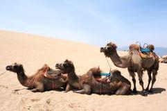 Chameaux dans les déserts photo stock