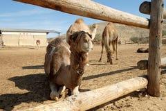 Chameaux dans un corral à une ferme de chameau photo stock
