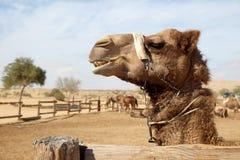 Chameaux dans un corral à une ferme de chameau images stock