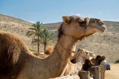 Chameaux dans un corral à une ferme de chameau photos stock