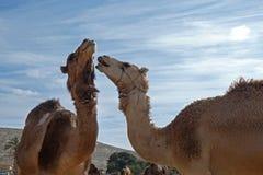 Chameaux dans un corral à une ferme de chameau photo libre de droits