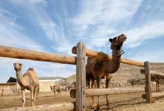 Chameaux dans un corral à une ferme de chameau photographie stock