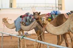 Chameaux de club d'emballage de chameau de Dubaï attendant à la course au coucher du soleil photos libres de droits