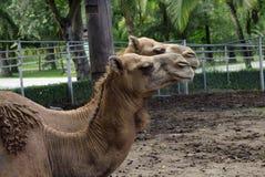 Chameaux de couples d'amour dans le zoo Photos libres de droits