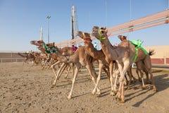 Chameaux de course dans Doha, Qatar images libres de droits